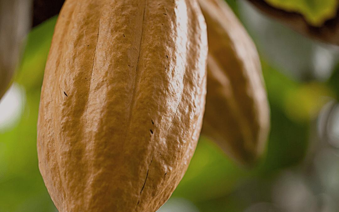 Le Cacaoyer, un arbre tropical aux fèves de cacao variées
